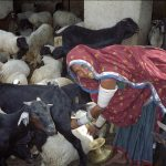 Raika woman milking goat