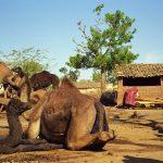 Raika camel pastoralists