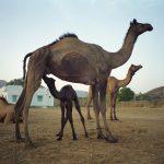 Raika camel