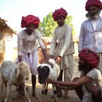 Raika sheep pastoralists